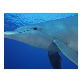 México, Cozumel. Delfín de Bottlenosed, Tursiops 4 Tarjetas Postales