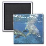 México, Cozumel. Delfín de Bottlenosed, Tursiops 5 Imán Cuadrado