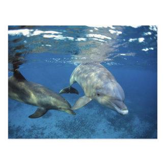 México, Cozumel. Delfín de Bottlenosed, Tursiops 5 Postal
