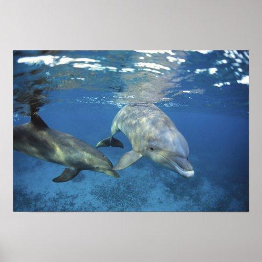 México, Cozumel. Delfín de Bottlenosed, Tursiops 5 Póster