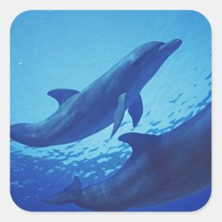 México, Cozumel. Delfín de Bottlenosed, Tursiops Pegatina Cuadrada