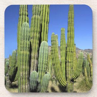 Mexico, Sonora, San Carlos. Saguaro & Organ Pipe Coaster