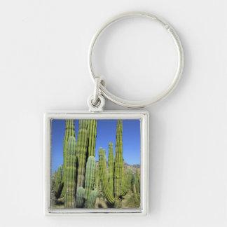 Mexico, Sonora, San Carlos. Saguaro & Organ Pipe Keychain