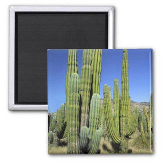 Mexico, Sonora, San Carlos. Saguaro & Organ Pipe Magnet
