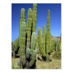 Mexico, Sonora, San Carlos. Saguaro & Organ Pipe Postcard