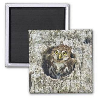 Mexico, Tamaulipas State. Ferruginous pygmy owl 2 Inch Square Magnet