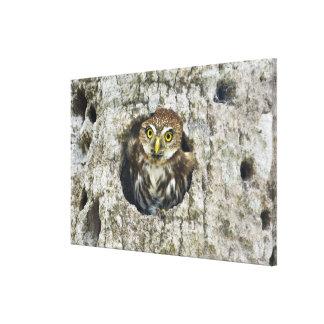 Mexico, Tamaulipas State. Ferruginous pygmy owl Canvas Print