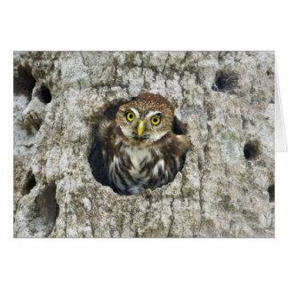 Mexico, Tamaulipas State. Ferruginous pygmy owl Card