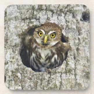 Mexico, Tamaulipas State. Ferruginous pygmy owl Drink Coaster