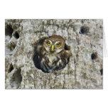 Mexico, Tamaulipas State. Ferruginous pygmy owl Greeting Card