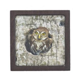 Mexico, Tamaulipas State. Ferruginous pygmy owl Jewelry Box
