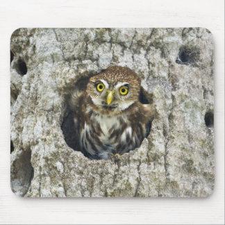 Mexico, Tamaulipas State. Ferruginous pygmy owl Mouse Pad