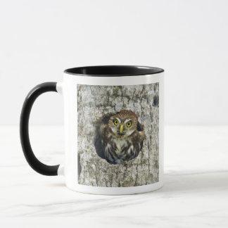 Mexico, Tamaulipas State. Ferruginous pygmy owl Mug