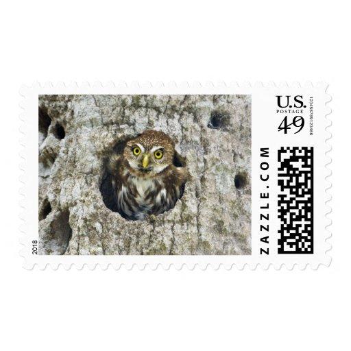 Mexico, Tamaulipas State. Ferruginous pygmy owl Stamps