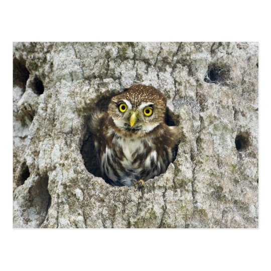 Mexico, Tamaulipas State. Ferruginous pygmy owl Postcard