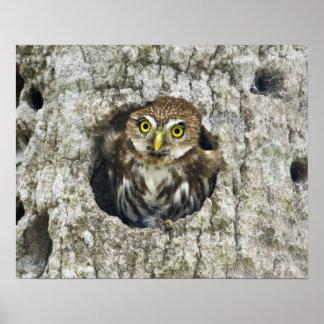 Mexico, Tamaulipas State. Ferruginous pygmy owl Poster