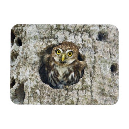 Mexico, Tamaulipas State. Ferruginous pygmy owl Flexible Magnets