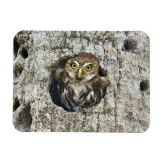 Mexico, Tamaulipas State. Ferruginous pygmy owl Rectangular Photo Magnet