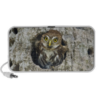 Mexico, Tamaulipas State. Ferruginous pygmy owl Mp3 Speakers