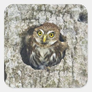 Mexico, Tamaulipas State. Ferruginous pygmy owl Square Sticker