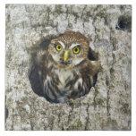 Mexico, Tamaulipas State. Ferruginous pygmy owl Tile