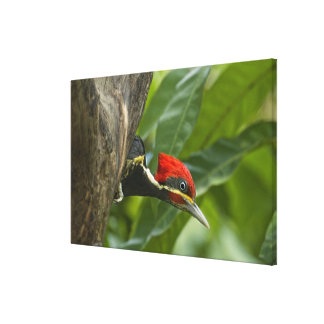 Mexico, Tamaulipas State. Male lineated Canvas Print