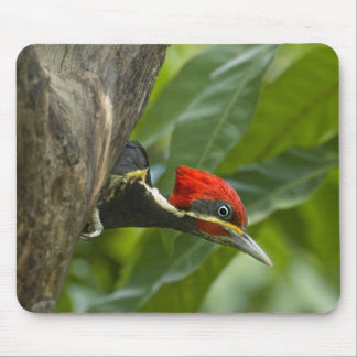 Mexico, Tamaulipas State. Male lineated Mouse Pad