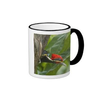 Mexico, Tamaulipas State. Male lineated Ringer Coffee Mug