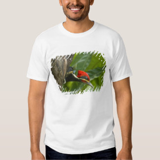 Mexico, Tamaulipas State. Male lineated Tshirt