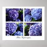 Mezcla azul del Hydrangea, Hydrangeas azules Posters