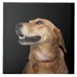 Mezcla de oro del laboratorio del beagle que mira  teja  ceramica