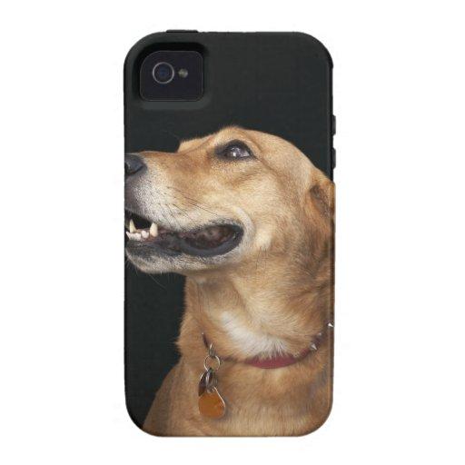 Mezcla de oro del laboratorio del beagle que mira Case-Mate iPhone 4 carcasas