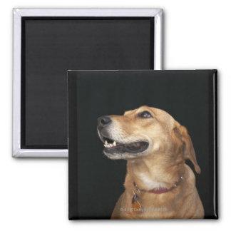 Mezcla de oro del laboratorio del beagle que mira  imán cuadrado
