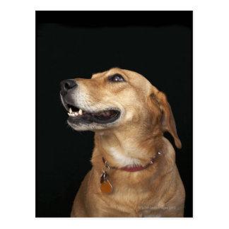 Mezcla de oro del laboratorio del beagle que mira tarjeta postal