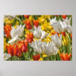 Mezcla de tulipanes posters