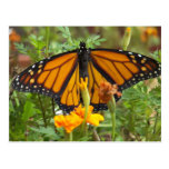 Mi Mariposa-postal del monarca