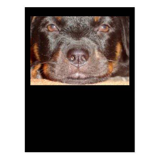 Mi pequeño Rottweiler Tarjetas Postales