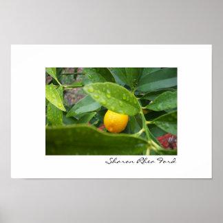 Mi primer kumquat por SRF Poster