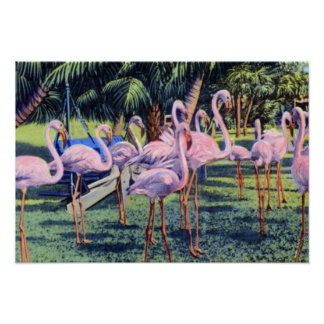 Miami Florida Flamingos in Hialeah Park Poster