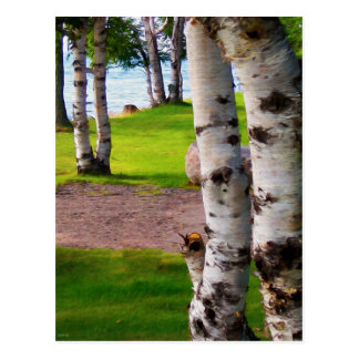 Michigan Birch Trees By Lake Postcard