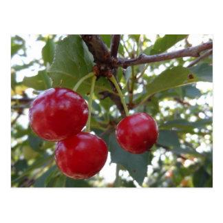 Michigan Cherries Postcard