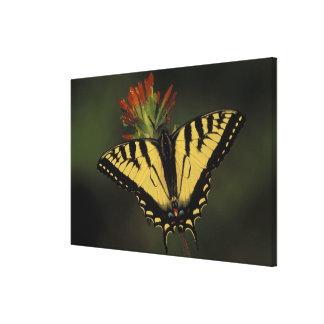 Michigan, lago Houghton. Tigre Swallowtail encendi Lona Envuelta Para Galerias