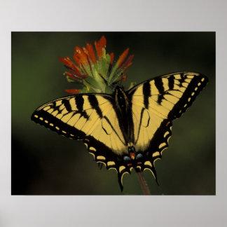Michigan, lago Houghton. Tigre Swallowtail encendi Póster