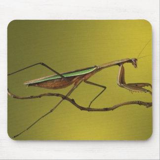 Michigan, Rochester Hills. Praying Mantis on Mouse Pad