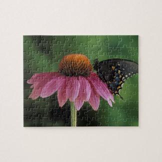 Michigan, Rochester. Spicebush Swallowtail encendi Puzzle