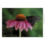 Michigan, Rochester. Spicebush Swallowtail on Greeting Card