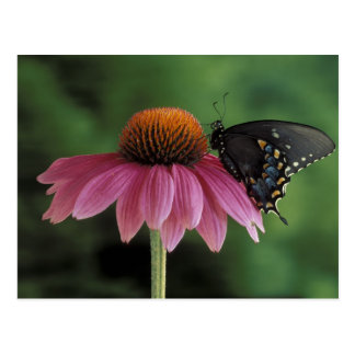Michigan, Rochester. Spicebush Swallowtail on Postcard