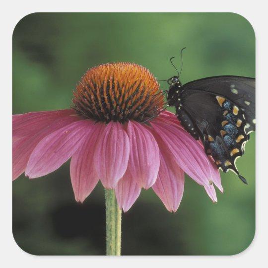 Michigan, Rochester. Spicebush Swallowtail on Square Sticker
