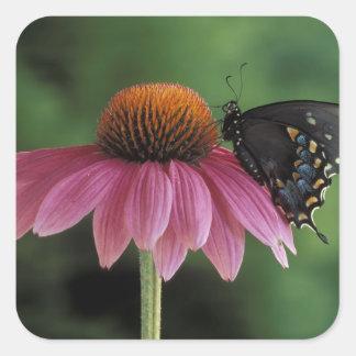 Michigan, Rochester. Spicebush Swallowtail on Square Stickers