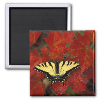 Michigan, Wetmore. Tiger Swallowtail on maple Magnet